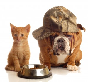 english bulldog and orange kitten sitting at food dish